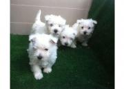 Goldens preciosos cachorros de color dorado con pedigri !