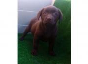 Labradores cachorros de todos los colores con excelente hueso
