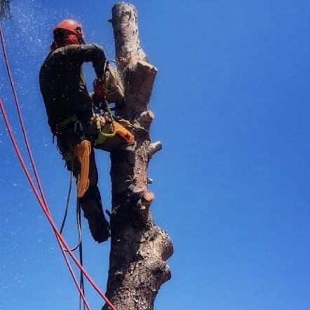Corte de pinos secos